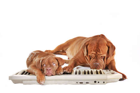 synthesizer: Dogs Band Playing Techno Music on Synthesizer Keyboard Stock Photo