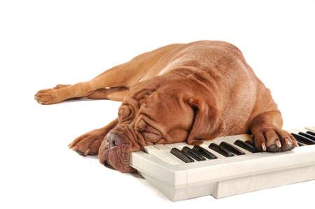 lyrical dance: Musician dog sleeping after long rehearsals Stock Photo