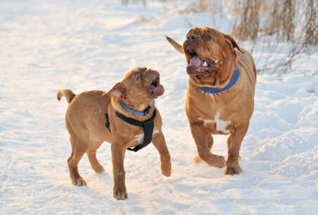 Two Dogues De Bordeaux Playing in Frosty Sunny Weather photo
