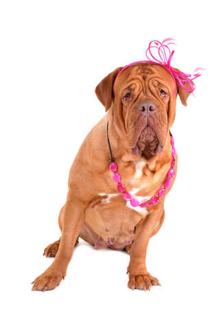 fedup: Kind Dogue De Bordeaux Sitting with a Bow