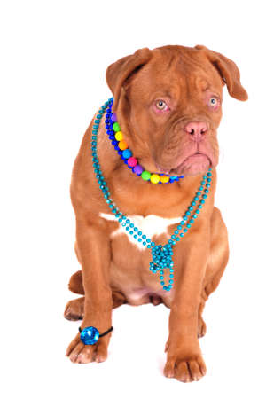 Glamour Dogue De Bordeaux - A Real Glossy Woman ! photo