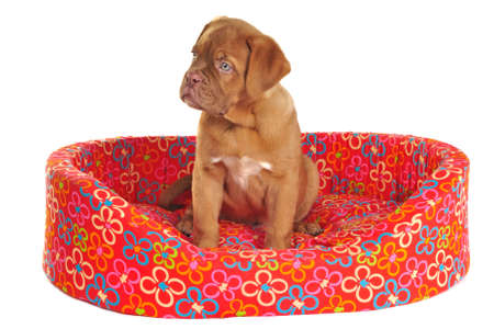 molosse: Puppy of Dogue De Bordeaux is Sitting in its Cot