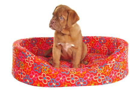 dogue de bordeaux: Puppy of Dogue De Bordeaux is Sitting in its Cot