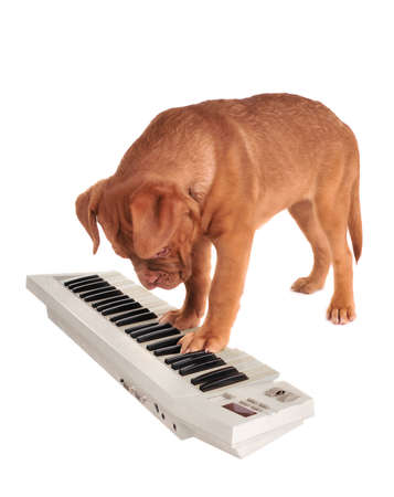lyrical dance: Puppy of Dogue De Bordeaux is playing an electrical piano Stock Photo