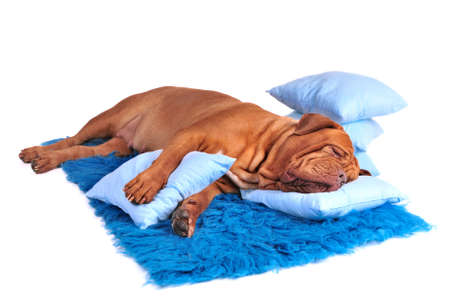 bed clothes: Dog is sleeping sweetly on its blue carpet