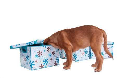 finding: Who is hiding there? - a puppy looking for friendsin a pretty box