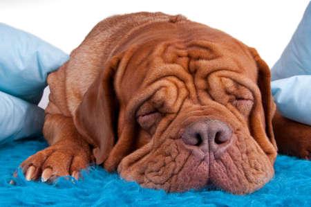 bordeaux dog: puppy of dogue de bordeaux sleeping on blue carpet
