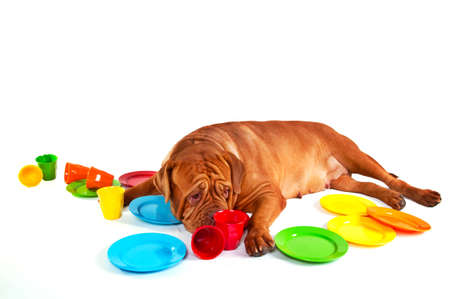 fedup: Who will wash the dishes - not me again... Tired from washing the colourful dishes dogue de bordeaux, isolated on white