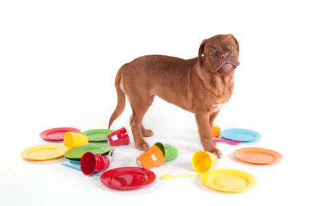 fedup: Its your turn - serious and determined dogue de bordeaux  refusing to wash the dishes Stock Photo