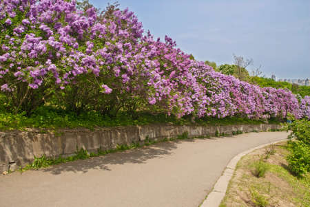 spring alley with purple lilac shrubs.