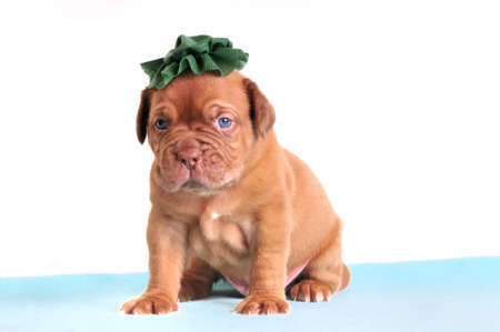 molosse: Small Puppy in a Green Hat Stock Photo