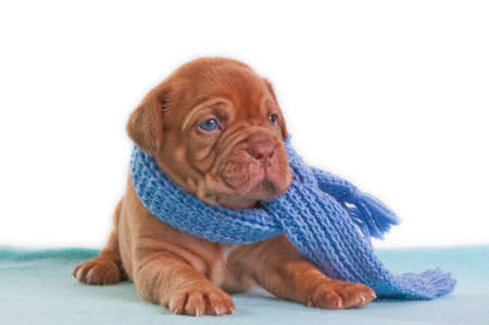 paw smart: A month old puppy of dogue de bordeaux with a shawl looking aside