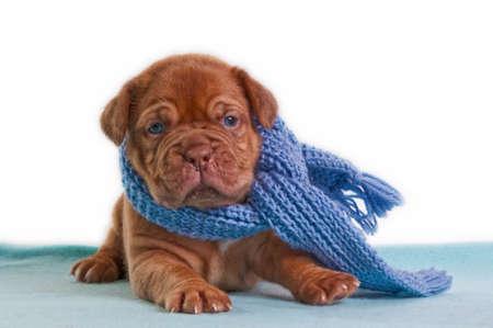 defenseless: newborn puppy with a blue shawl sitting