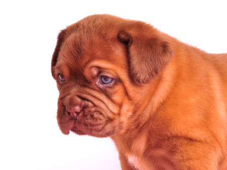 touching noses: portrait o one month old Dogue De  Bordeaux puppy Stock Photo
