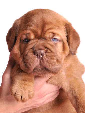 Young Dogue De  Bordeaux puppy in female hands is looking attentively at camera Stock Photo - 6977563