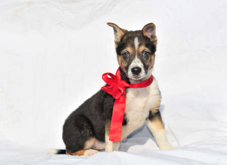 ?harming two month old three colour puppy with beautiful red bow looking at camera  photo