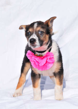 Brave charming two month old three colour puppy with beautiful rose flower looking at camera  photo