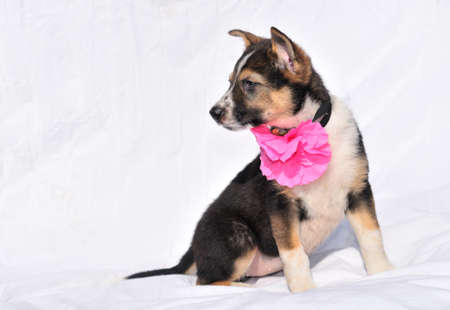 Sweet two month old puppy with rose flower is sitting photo