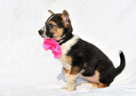Cute two month old puppy with rose bow is sitting on counterplane photo