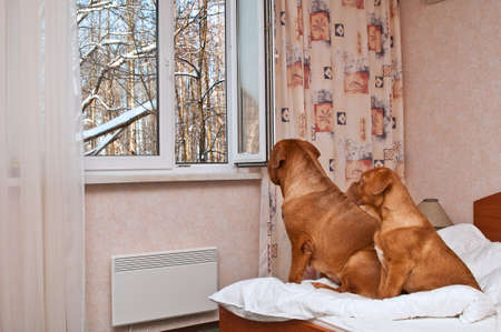 Two Dogues De Bordeaux Looking out of the open window photo