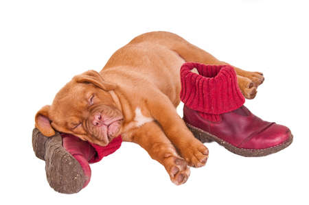 cute puppy sleeping on pink boots photo