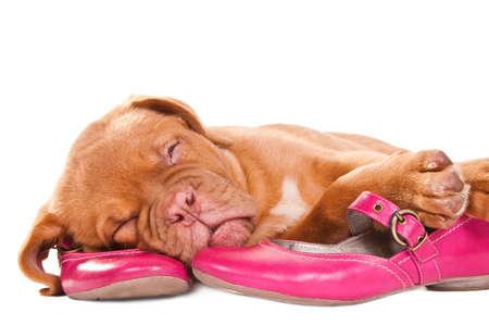 puppy love: Dormir perrito pequeño en Chica Foto de archivo