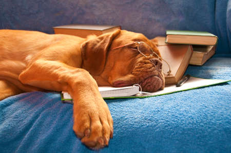 bordeaux dog: A Tired Dog de Bordeaux asleep over the books