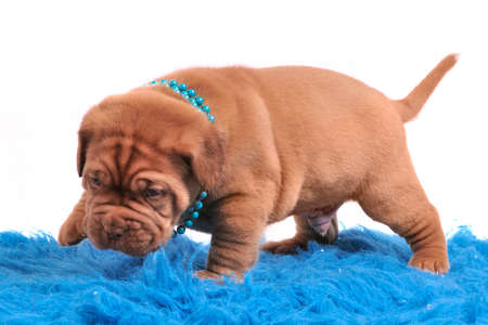 Newborn Dogue De Bordeaux puppy make his thirst steps photo