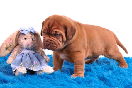 One month old Dogue De Bordeaux puppy is standing on a blue carpet photo