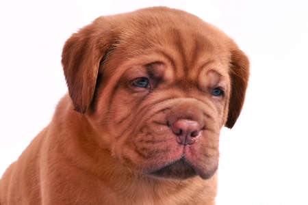 Portrait of 1 month old Dogue De Bordeaux puppy photo