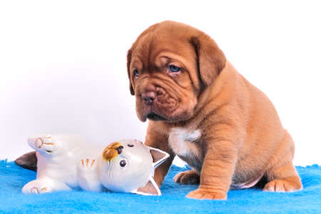defenseless: Cute Dogue De Bordeaux puppie is sitting near wooden white cat Stock Photo