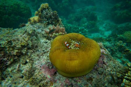 percula: Clown fish hiding in anemone  corals and sea plants on a sea cliff.