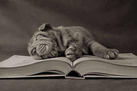 paw smart: Puppy Fell Asleep in Early Morning after Long Study Hours - Sepia Toned Stock Photo