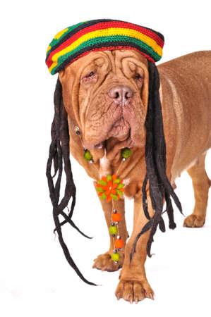 rasta colors: Big Wrinkled Dog in Rastafarian Hat