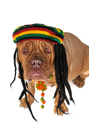 rasta colors: Funny View on a Big Doggy in Rastafarian Hat Stock Photo