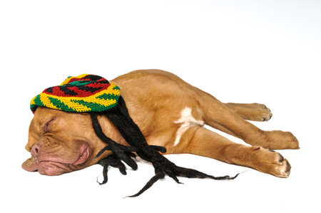 rasta hat: Cute Puppy Dreaming in Rasta Hat