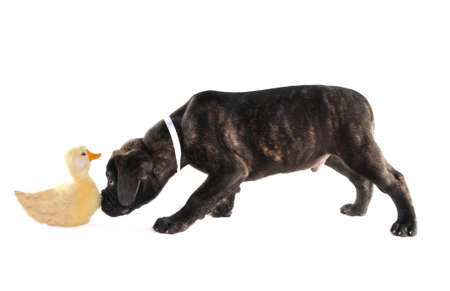 Puppy of Bullmastiff with a duck toy Stock Photo - 7102933
