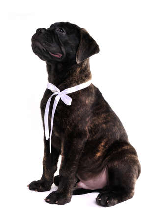 Cute puppy of Bullmastiff is sitting and begging photo