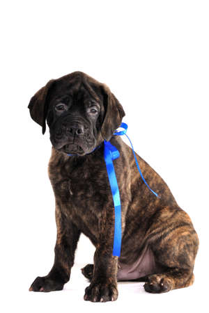 Sitting Puppy of Bullmastiff photo