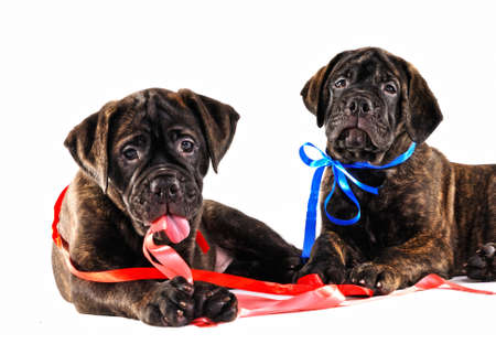Two Happy Puppies Lying with Ribbons photo