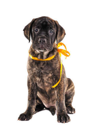 Puppy is Sitting with a Yellow Ribbon photo
