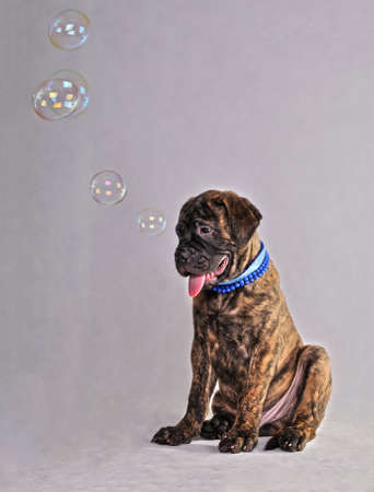 Bullmastiff Sitting with Soap Bubbles photo