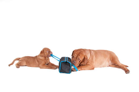 paw smart: Two dogs playing with a travel bag