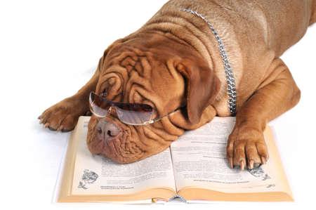 Big Dog Reading a Book in sunglasses. Archivio Fotografico