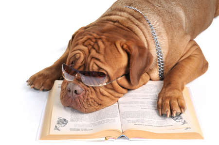 Big Dog Reading a Book in sunglasses. Stock Photo