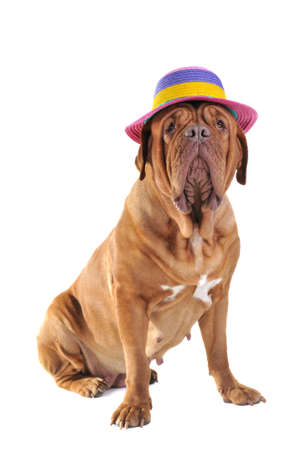 Big Dog is Sitting in a big Colorful Beach Hat photo