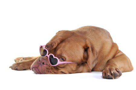 Puppy in Glamour Heart-Shaped Glasses Stock Photo - 7236608