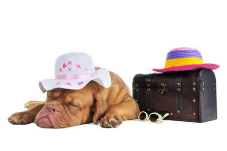 french mastiff: Puppy is Ready to Go on Summer Vacation