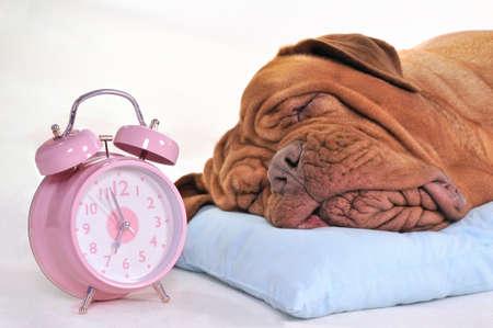 bordeaux dog: Big Dog Sleeping Sweetly near an Alarm-Clock Stock Photo