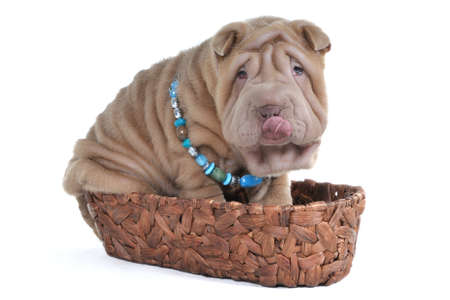 Cute Puppy is sitting in a natural basket photo